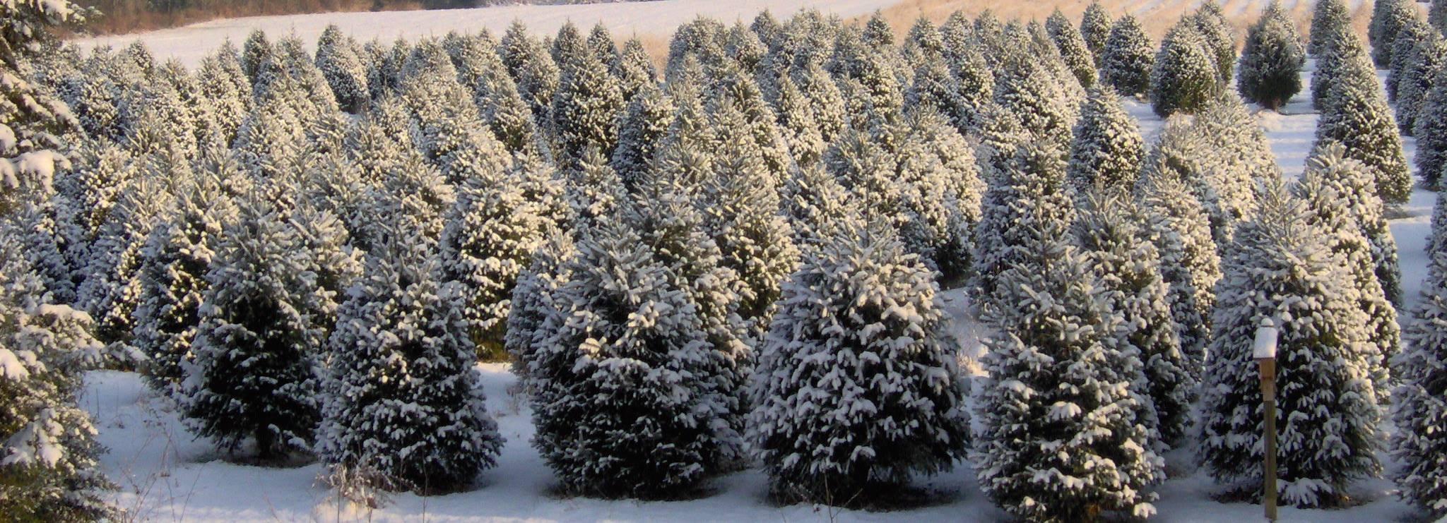 Coleman's Christmas Tree Farm   LinkedIn